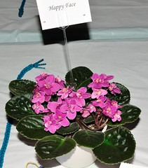 Happy Face (MJI Photos (Mary J. I.)) Tags: avsminnesota avsm africanviolet africanvioletsociety flowers statefair mn minnesota minnesotastatefair2016 flowershow blooming houseplants show plants plantshow twincitiesgesneriads gesneriads saintpaulia gesneriad statefairfriday dsc4011 happyface