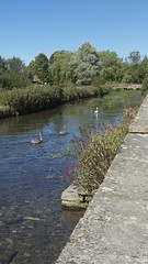 The River Coln, Bibury (Nigel Musgrove-1.5 million views-thank you!) Tags: cotswolds river coln bibury goucestershire england swan cygnet