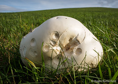 Giant Puffball (Roger B.) Tags: barnsley calvatiagigantea fungi fungus giantpuffball grassland southyorkshire unitedkingdom