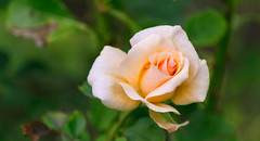 Lovely Pink Rose (bboneyardd) Tags: clounds flower flowers rose monarch butterfly blue green pink montreal quebec summer trip photograph photography nikon d3100 canada
