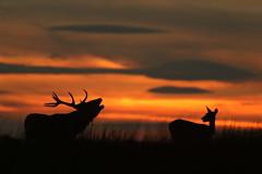 Romance In The Afterglow (Derbyshire Harrier) Tags: reddeer 2016 silhouette moorland afterglow dusk evening rspb stag wildreddeer peakdistrict peakpark derbyshire easternmoors nationaltrust roar bellow rut hind