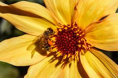 Pollen (WalrusTexas) Tags: pollen bee yellow macro