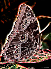 Electric_Butterfly-02 (jamesclinich) Tags: olympus omd em10 jamesclinich corel paintshoppro topaz denoise adjust clarity detail glow handheld availablelight butterfly lubbock lubbocktx texas tx insects sciencespectrum