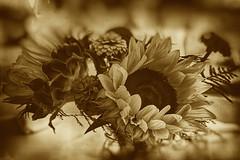 Sentimental Sunflower (SunnyDazzled) Tags: sunflower oldfashioned treatment bokeh sepia bouquet farm wedding retro sentimental flowers floral