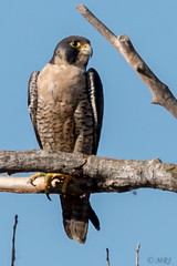 Powerful and Fast, Falcon (MelRoseJ) Tags: willows california unitedstates sacramentonationalwildliferefuge sacramentonwr peregrinefalcon birds nature sonyalpha sal70400g sony sonyilca77m2 a77ii alpha autofocus