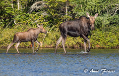 Walking along the water's edge... (Anne Marie Fraser) Tags: outdoor animal moose calf mama nature wildlife water mountains pond wild free