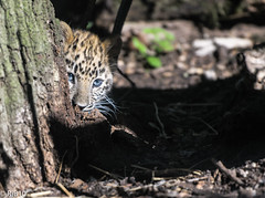 Blending into your surroundings (RJB10) Tags: endangeredcats zoo cat nikon literoom5 marwell cub bokeh blinkagain highqualityanimals cats bigcat d300s leopardcub 70200mm handheld dof leopard vrii