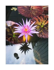 Celebrating The 4th (icypics) Tags: america newyork reflection whitneymuseum flower iphoneography water waterlillies