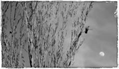 La Paloma y la Luna (Dove and Moon) (Vilchez57) Tags: foto fotografa fotgrafo paloma luna atardecer niebla arboleda blanconegro vilchez57