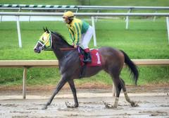 2016-08-21 (39) r9 Gabriel Saez on #1 Totally Drenched (JLeeFleenor) Tags: photos photography md maryland laurelpark racing jockey   jinete  dokej jocheu  jquei okej kilparatsastaja rennreiter fantino    jokey ngi horses thoroughbreds equine equestrian cheval cavalo cavallo cavall caballo pferd paard perd hevonen hest hestur cal kon konj beygir capall ceffyl cuddy yarraman faras alogo soos kuda uma pfeerd koin    hst     ko  wet muddy winner