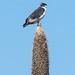 Augur buzzard (Buteo augur) on a Giant Lobelia