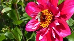 Fleißige Biene zur Dahlienzeit auf der Insel Mainau