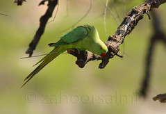 parrot (zahoor-salmi) Tags: camera pakistan macro nature birds animals canon lens photo tv google flickr natural action wildlife watch bbc punjab wwf salmi walpapers chanals discovry beutty bhalwal zahoorsalmi panoramafotogrfico thewonderfulworldofbirds blinkagain