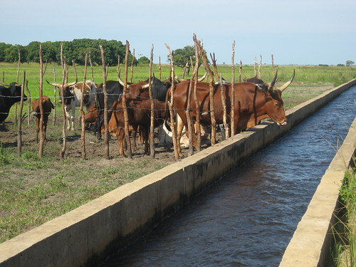 Cattle in a movable pen to provide manure for the rice fields in Sefula, Zambia. Photo by Kate Longley, 2013.