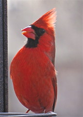 Red cardinal / Cardinal rouge / Cardenal rojo (PULLKATT I'M BACK) Tags: park red canada bird nature birds animal animals gardens canon g