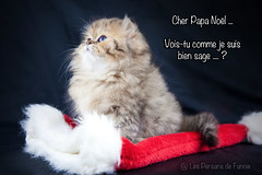 Les Persans de Fannie (Les Persans De Fannie) Tags: christmas cats pets cat golden persian chats kitten chat noel chinchilla animaux fannie chaton chatons persan goldenshaded