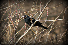 Bird Watching (ThroughMyEyes_JKM) Tags: bird nature outdoors branches indiana merrillvillein