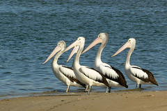 Australian Pelicans at Alfred Cove, Perth (Peter Taylor) (Naturetrek Wildlife Holidays) Tags: australia whales westernaustralia naturetrek aus08 whalesandwildflowers