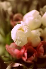 Tulips 3 (Helene Iracane) Tags: pink flowers white flower green fleur rose fleurs 50mm spring nikon tulips vert tulip bunch bouquet blanche blanc printemps tulipe tulipes d3100