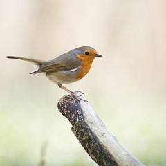 Rouge-gorge, Robin (Zed The Dragon) Tags: wild bird robin speed jaune french geotagged rouge effects photography photo flickr tits minolta photos bokeh sony main vert full frame gorge fullframe alpha antony animaux parc postproduction franais greattit sal zed oiseaux francais rougegorge sceaux lightroom effets msange parcdesceaux 24x36 2013 a850 sonyalpha hpexif parcsceaux dslra850 alpha850 zedthedragon minoltaapo80200hs charbonnire