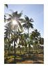 pokok 1 tegak (ahmadnakhaie85) Tags: bali panorama nikon palm malaysia cameronhighlands kelapa ch pantai tok kelantan pokok d90 lanskap pokokkelapa nikond90 tokbali gambaruntukdijual nakhaie