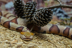 Copperhead (Marc_714) Tags: snake copperhead northcarolinaaquarium pineknollshores marc714