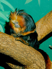 Golden Headed Lion Tamarin WLD_4302 (guppiecat) Tags: leontopithecuschrysomelas goldenheadedliontamarin