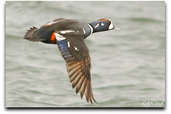 Harlequin Duck (BN Singh) Tags: ocean new light sea bird beach nature water bay fly flying duck wings jetty nj jersey inlet barnegat harlequin avian
