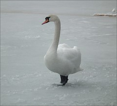 waiting... (mariuszj8) Tags: snow ice swan poland pozna dbina naturesharmony mygearandme mygearandmepremium mygearandmebronze mygearandmesilver