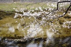 (ddsnet) Tags: travel plant flower japan sony  cherryblossom  sakura nippon  kansai  nihon hanami  backpackers  flower     nex        cherry blossom mirrorless japan  hygoken   flowerinjapan newemountexperience nex7