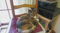 Gracie Video 56 (short), 13 April 2013 MVI_3575 (edgarandron - Busy!) Tags: cats cute cat gracie feline tabby kitty kitties tabbies patchedtabby