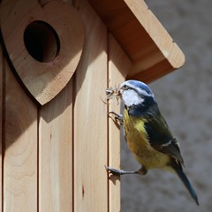 J77A5048 -- Our Blue Tit tenant with some building material, squared (Nils Axel Braathen -- Thanks a lot for +200K views) Tags: nature birds wildlife bluetit fugler oiseaux blaumeise marlyleroi msangebleue blmeis vogeln cyanisescaeruleus