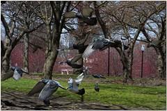 DSCF6250R (Joms_Nature) Tags: bird birds flying inflight pigeon wildlife pigeons birding bif birdinflight hs50 hs50exr
