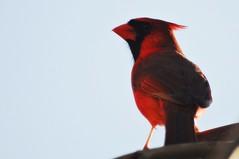 Cardinal's cheer (beyondhue) Tags: male bird nature spring close cardinal wildlife ottawa beyondhue