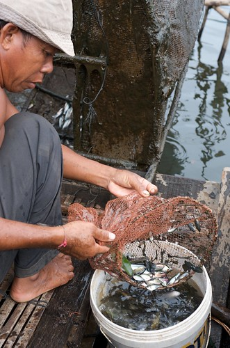 Emptying fish trap in Tonle Sap, Cambodia. Photo by Patrick Dugan, 2008.