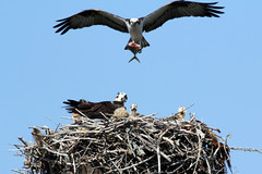 Coming in with Lunch (whispaws) Tags: bird island nest florida chicks sanibel osprey fishhawk whispaws