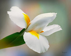 Blooming and quite stunning (rittenc) Tags: iris flower macro texture flowerthequietbeauty