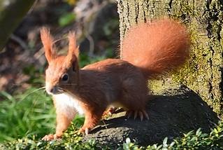 Eichhörnchen, NGID489345141