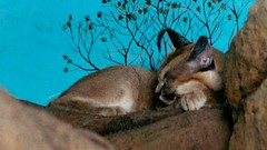 Caracal Dreams (MrGuilt) Tags: cats animals cincinnati caracal cincinnatizoo afzoomnikkor3570mmf28d