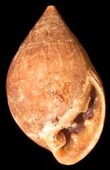 Native Marianas snail shell