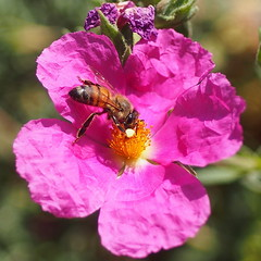 Bee and Cistus (Aerogami.com) Tags: california pink rose insect spring olympus bee 24 28 24mm pollen honeybee zuiko f28 rockrose cistus aerogami