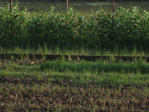 畑のエンドウ