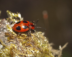 Endomychus coccineus - Family Endomychidae (John (Gio) * OVER 100,000 VIEWS *) Tags: macro nature closeup insect kent wildlife flash beetle olympus gio nbw endomychidae endomychuscoccineus handsomefungusbeetle zuikodigitaled50mm120macro falseladybug