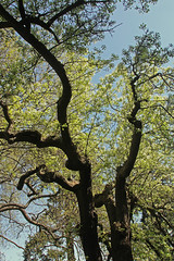 Oak tree in spring (joybidge (back from vacation)) Tags: trees tree oak oaktree victoriabc naturepatternscanada trishcanada tsapril202013