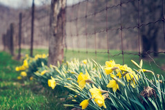 Spring Fenced Friday! (Tina M89) Tags: spring bokeh daffodils eveninglight greengrass hff pagewirefence