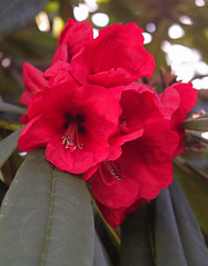 large red rhododendron (joybidge (back from vacation)) Tags: flowers flower rhododendron victoriabc rhododendrons universityofvictoria finnertygardens naturepatternscanada trishcanada tsmarch312013