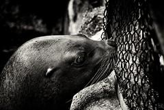 Sweet scent of freedom (Explored) (chmeermann) Tags: bw animal closeup fence mammal zoo blackwhite seal sw sealion tierpark schwarzweiss zaun lowkey robbe nahaufnahme hagenbeck seelwe tierparkhagenbeck