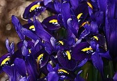 Indigo (janmarie37) Tags: flowers blue iris purple multicolor dwarfiris
