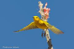 Yellow Warbler (Patricia Ware) Tags: california canon backyard ngc npc handheld anzaborregodesertstatepark dendroicapetechia vallecito ©allrightsreserved specanimal yellowwarble ©patriciaware sunrays5