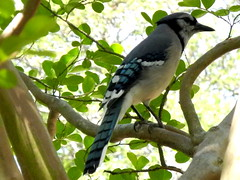 Pretty Blue Jay in the Crepe Myrtle tree (pawightm (Patricia)) Tags: austin texas bluejay centraltexas endofapril pawightm bluejayinthetree songbirdsinmygarden rscn9437